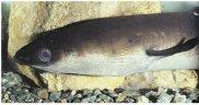 Short finned Eel