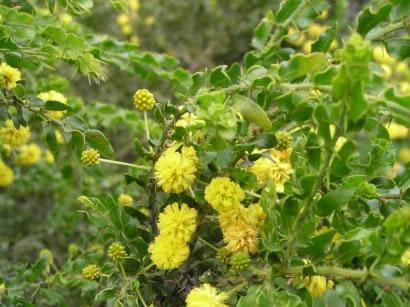 Prickly Wattle, <em>Acacia paradoxa</em>